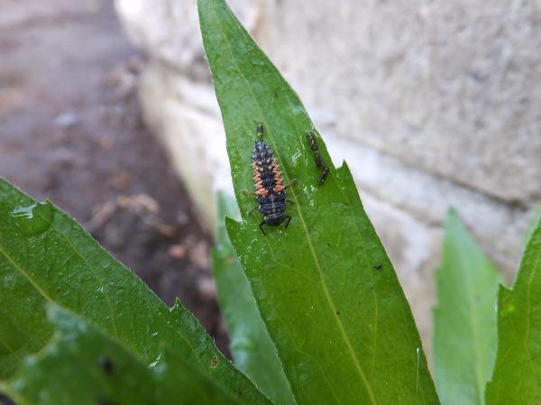 テントウムシ幼虫