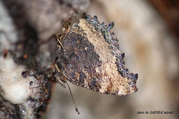 2013.6.10 ヒオドシチョウ 翅の裏は、木の皮のようです。