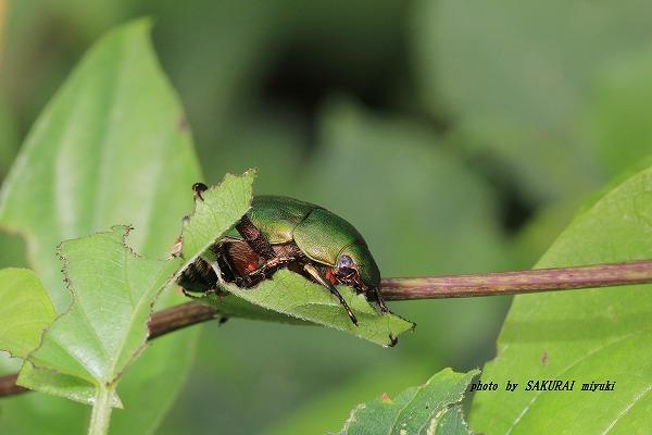 2014.8.14 ヤマイモの葉を食べるアオドウガネ